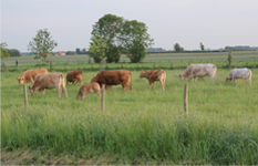 koeien-in-de-wei